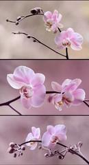 Storczyki różowe