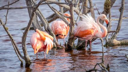 Flamingo, Galapagos Islands, Ecuador