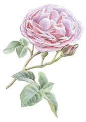 Illustration with pink rose.