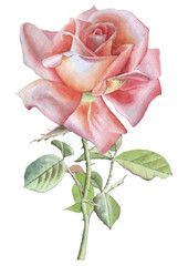 Illustration with red realistic rose.