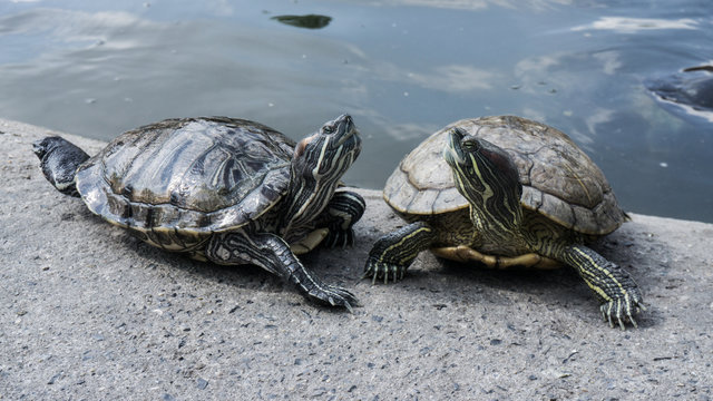 Turtles in a pond.