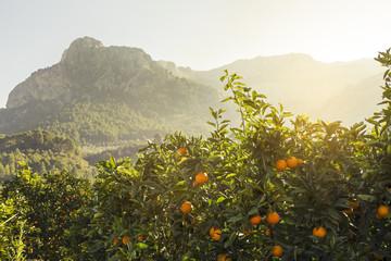 Naranjos en Soller. Mallorca