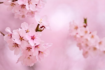 Cherry blossoms in the blurred pink background.