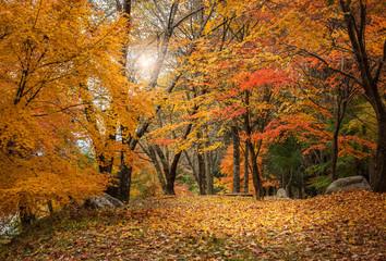 Autumn maple forest.