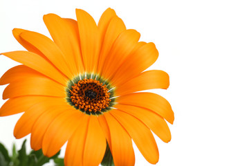 orange African daisy full bloom close up in the white
