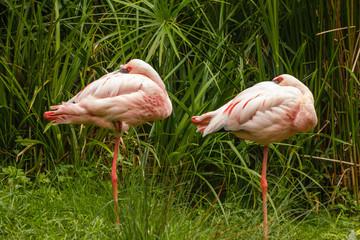 Phoenicopterus minor. Flamencos Enanos o Chicos, descansando.