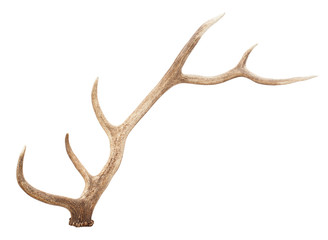 Large antler isolated on white background Wall mural