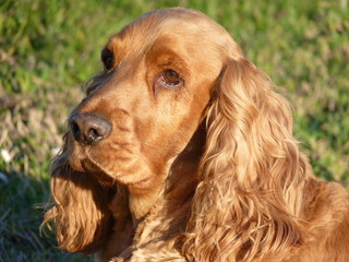 cocker spaniel tête
