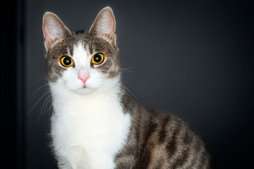 Portrait of cute young tabby & white cat on a black gradient background
