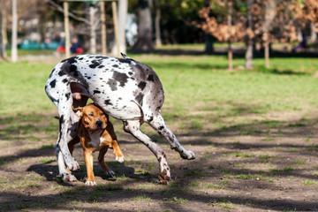 Alano arlecchino bianco e nero e pitbull marrone rossiccio che giocano  insieme in un parco cittadino
