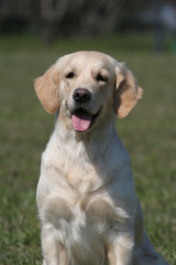 dog breed golden retrieve