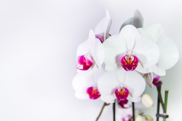 Pink and white streaked orchid flower, isolated