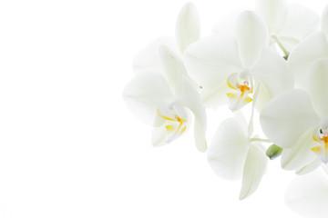 Weisse Orchideen vor hellem Hintergrund