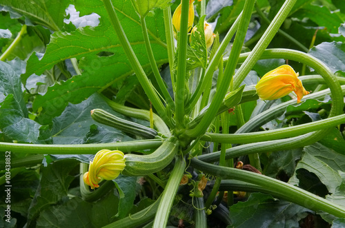 zucchini pflanze courgette plant in garden stockfotos und lizenzfreie bilder auf. Black Bedroom Furniture Sets. Home Design Ideas