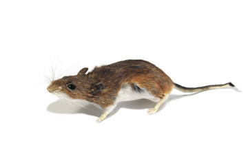 Portrait of a Field Mouse on a White Background