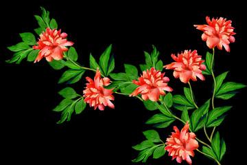 peony flowers isolated on black  background.