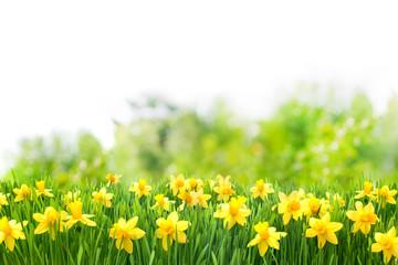 Photo sur Plexiglas Narcisse Osterglocken, Blumenwiese, Ostern, Frühling, Frühlingshintergrund, Garten