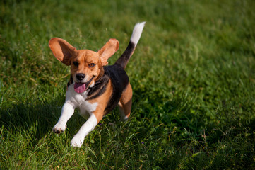 Playful young Beagle running in grass