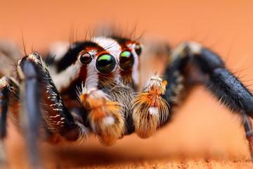Close up shot of Jumping spider (Plexippus paykulli)