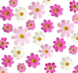 floral background. pink flowers isolated on a white background. Cosmea