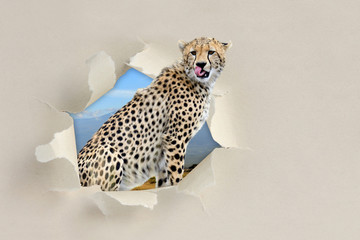 Cheetah looking through a hole torn the paper