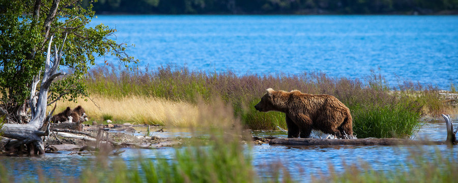 A brown bear sow returns to her cubs on the shore after fishing in Brooks River, Katamai National Park, Alaska