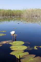 Lilly pads on the Okavango Delta.