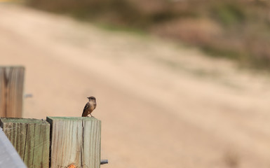 Grey Tree swallow birds, Tachycineta bicolor, sits on a post at the San Joaquin wildlife sanctuary, Southern California, United States