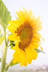 Beautiful sunflower plant in public garden