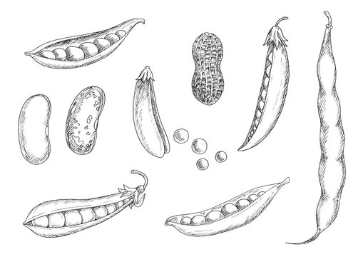 Sketches of peanut, pea pods and beans