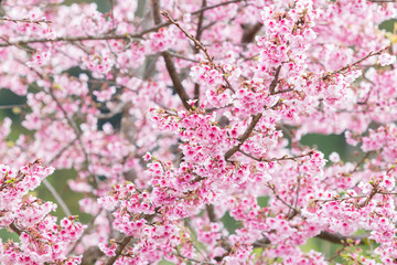 Beautiful spring cherry blossoms in the northern of Thailand