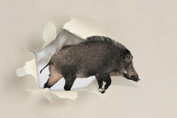 Wild boar running through a hole torn the paper