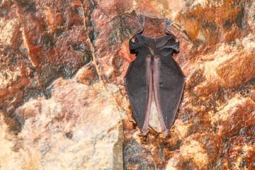 Rhinolophus hipposideros. Murciélago Pequeño de Herradura. Espacio Natural Sierra de la Culebra, Zamora.
