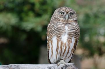 little Owl of thailand
