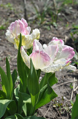 white pink tulip against the background of the spring ground