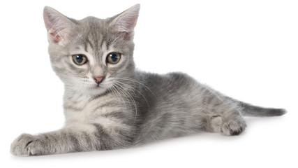 British shorthair tabby kitten lay isolated
