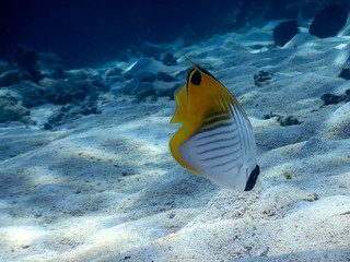 Threadfin butterflyfish (Chaetodon auriga) looking for food on a seabed