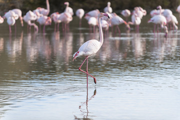 Pink flamingo walking in a lagoon