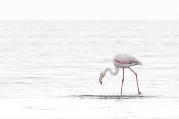 Flamingo at the Walvis Bay wetland