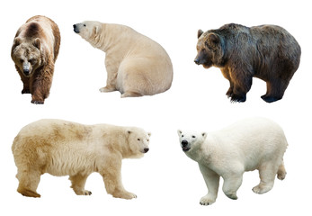 Wall Mural - Set of  bears over white background