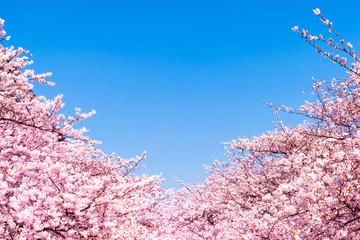 Wall Mural - rosa Kirschblüten vor blauem Himmel als Hintergrund
