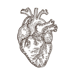 Vintage engraved human heart. Vector illustartion.