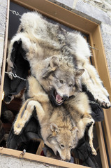 Wolf skin draped over a stall at Quebec street shop