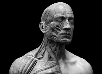 Human anatomy - muscle anatomy of the face neck and chest
