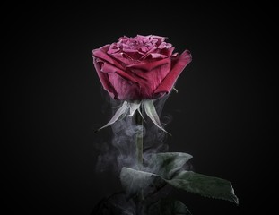 Close up of frozen dark red rose isolated on black.