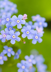 Flowers forget-me-not closeup
