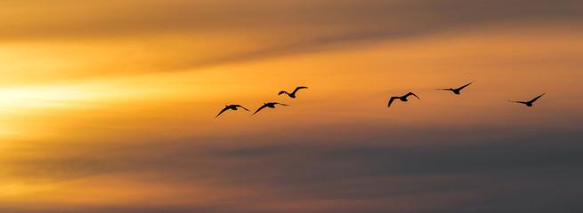 Vogel Vögel Singschwäne - Flug zum Sonnenuntergang