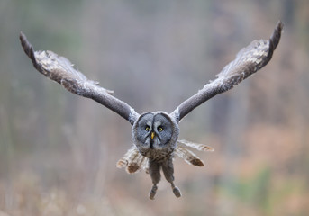 Wall Mural - Great grey owl in flight, closeup, with clean grey background, Czech Republic, Europe