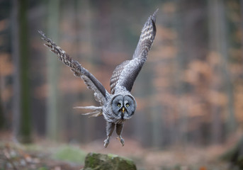Great grey owl taking off from rock, closeup, with forest background, Czech Republic, Europe