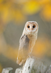 Fototapete - Barn owl sitting on the fence, with yellow flowers in background, Czech Republic, Europe